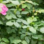 Die Rosen blühen im Frühling-02