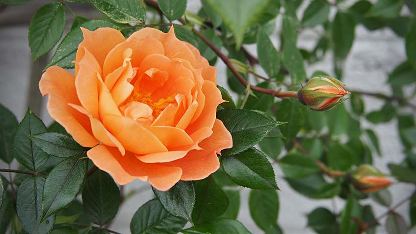 Die ersten Rosen blühen