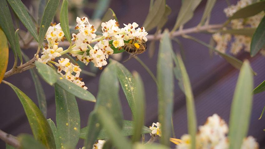 Der Olivenbaum blüht-und Bienen und Hummeln lieben ihn!