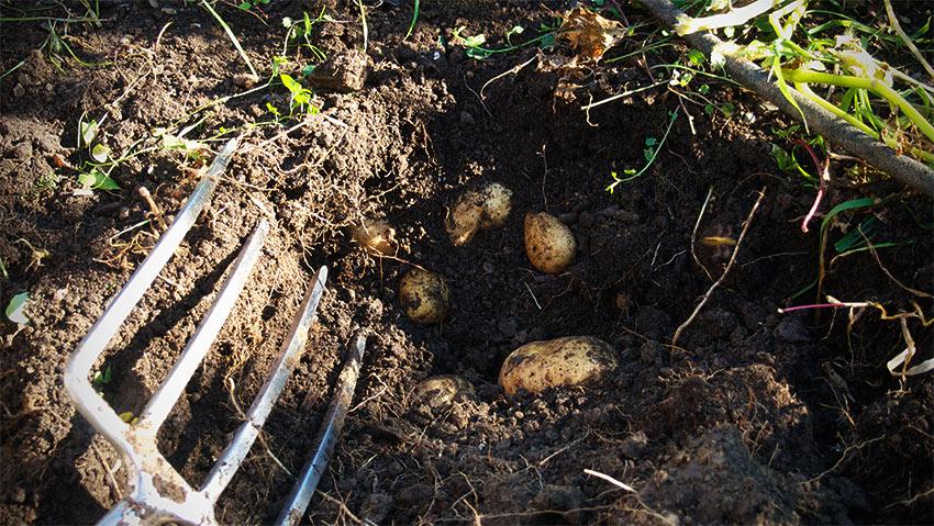 Erdapfel-Kartoffel-Ernte-2013-01