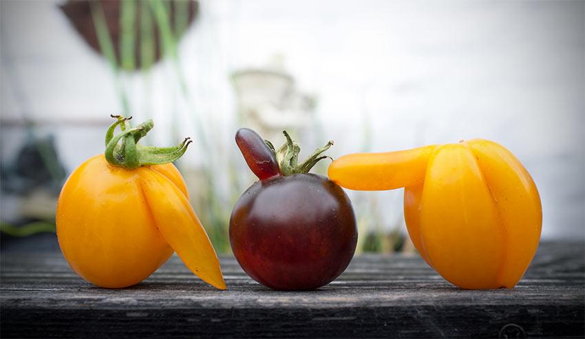 Samen für Paradeiser und Tomaten