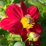 Bienen im Herbst auf einer ungefüllten Blüte-01