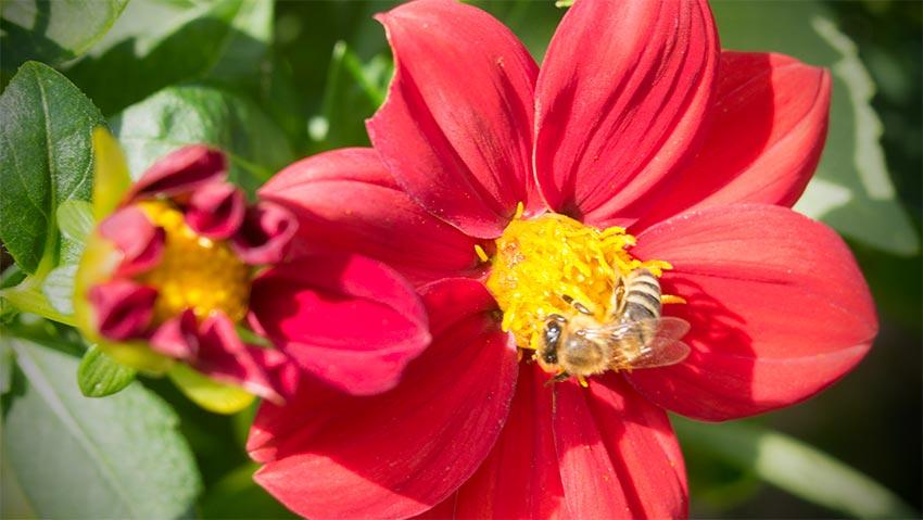 Bienen im Herbst auf einer ungefüllten Blüte-02