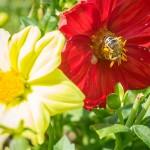 Bienen im Herbst auf einer ungefüllten Blüte