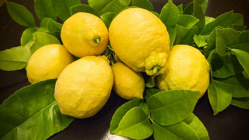 Zitronenernte im Burgenland