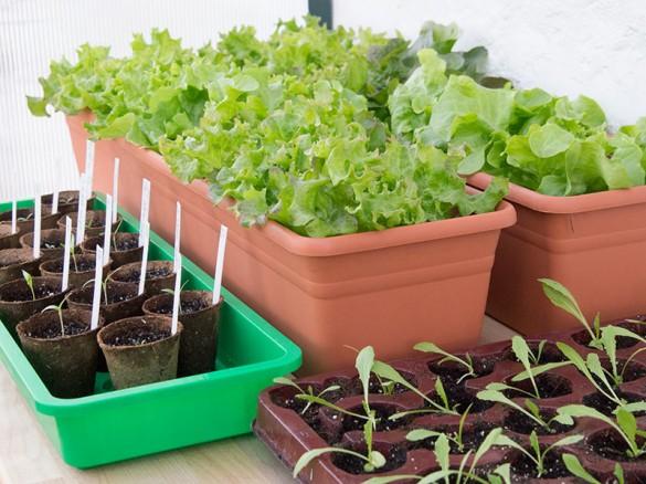 Gemüse vorziehen: Salat und Melanzani