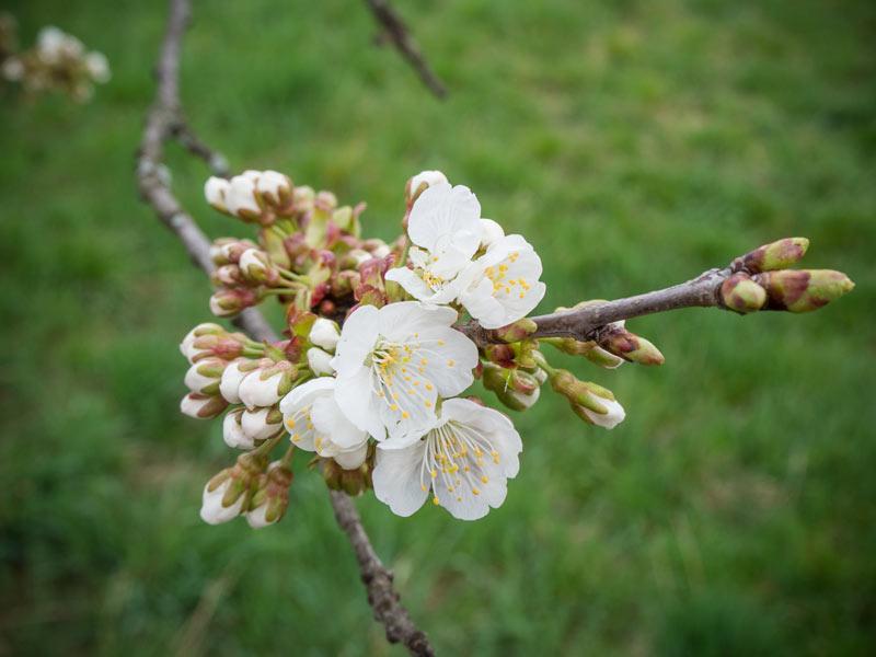 Kirschenblüte 2014