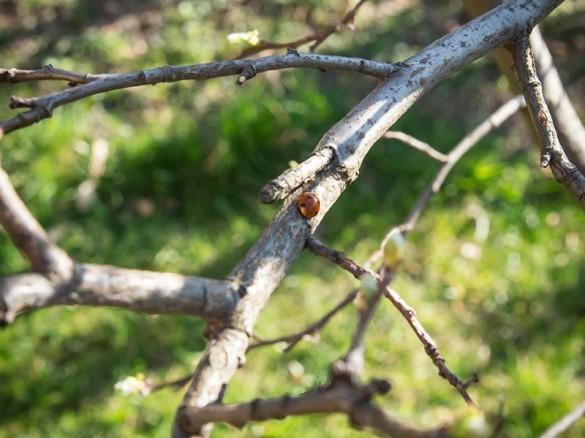 Der Marienkäfer, ein Nützling