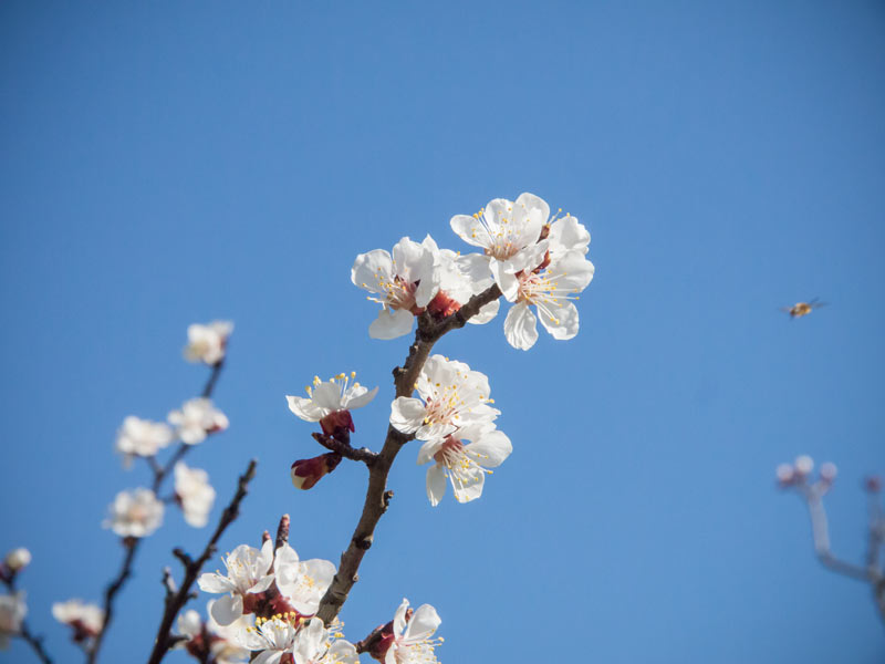 Der Marillenbaum blüht schon!