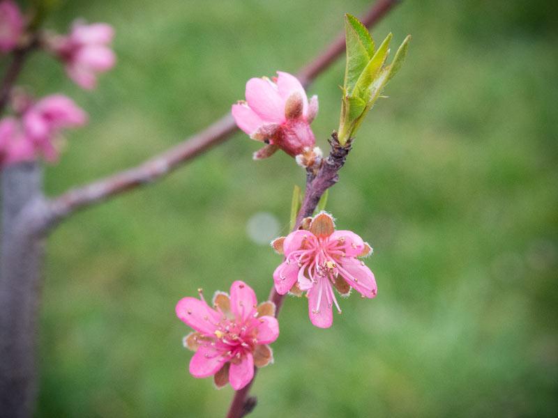 Nektarinenblüte