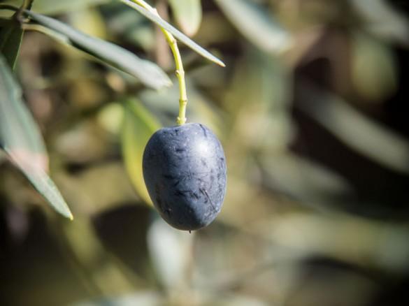Olive - späte Ernte