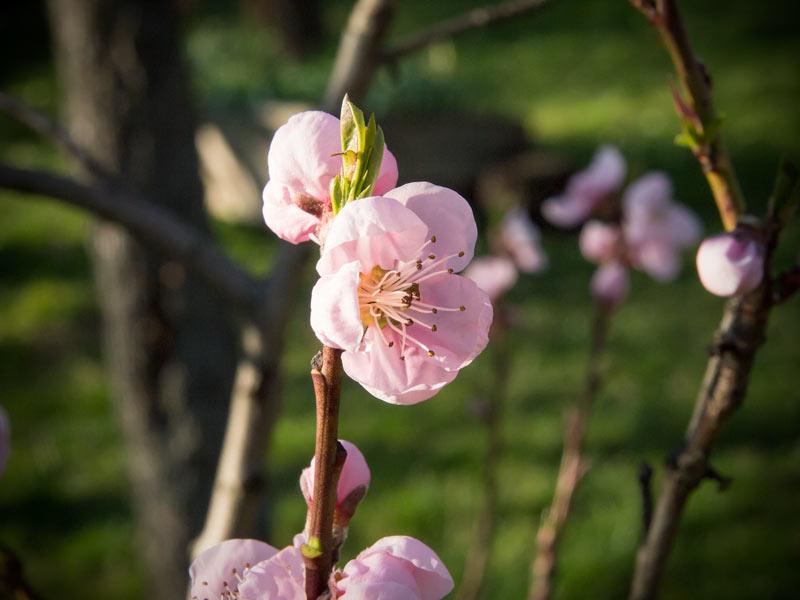 Pfirsichblüte 2014 Burgenland