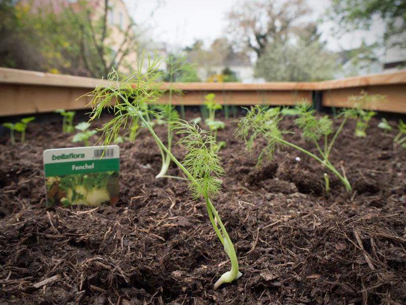 Fenchel eingepflanzt