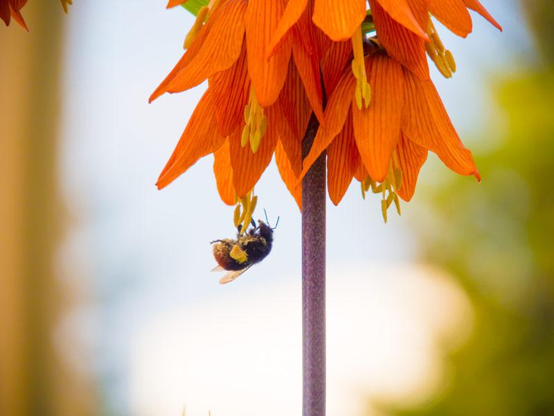 Hummel und Pollen
