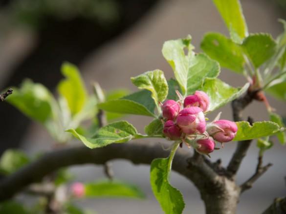 Apfelblüte 2014