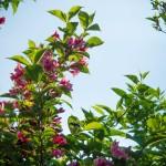 Blühender Strauch mit Biene