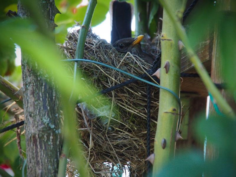 Hausamsel brütet im Nest