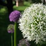 Zierlauch: Bienen lieben ihn auch