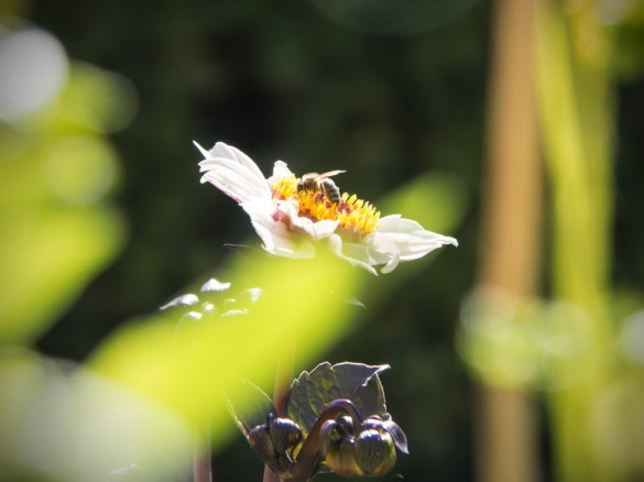 Dahilen ungefüllt für Bienen-03