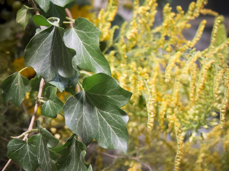 Internationale-Gartenbaumesse-Tulln-2014-Efeu