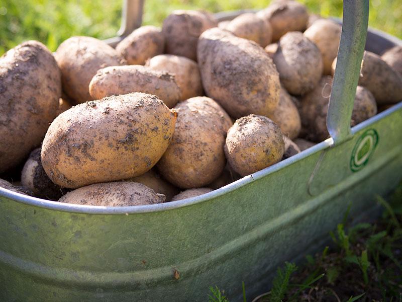 Erdäpfel - Kartoffel Ernte August 2014