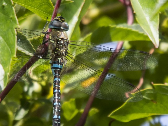 Libelle August 2014 (Dragonfly) Nahaufnahme