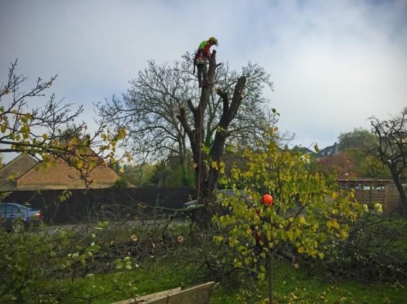 Der alte Kirschbaum wird gefällt
