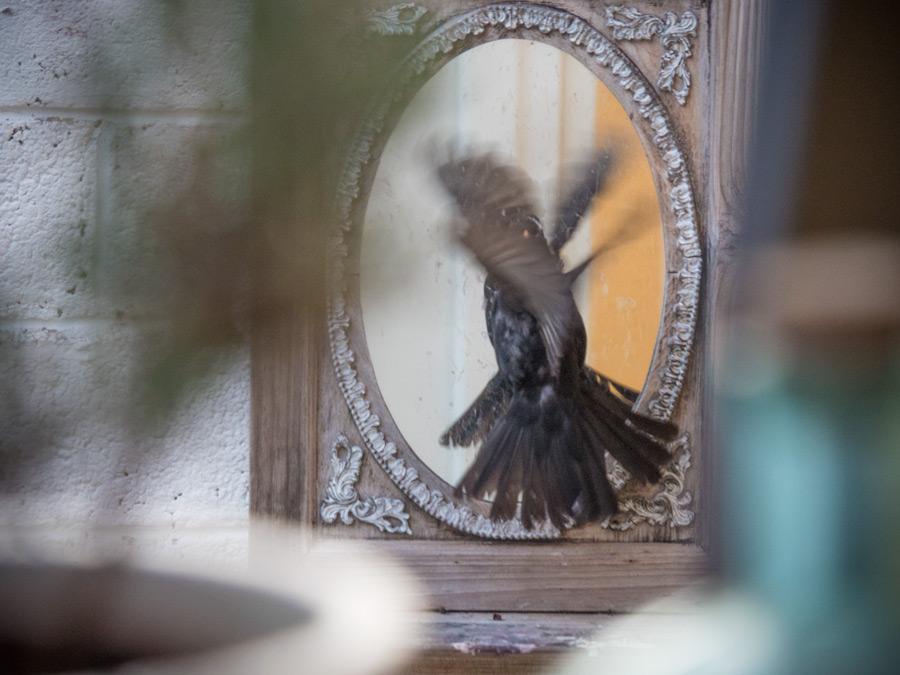 Amsel-ist-verliebt-ins-Spiegelbild-02