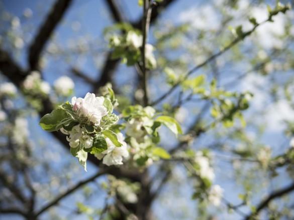 Apfel-blüht-April-2015-01
