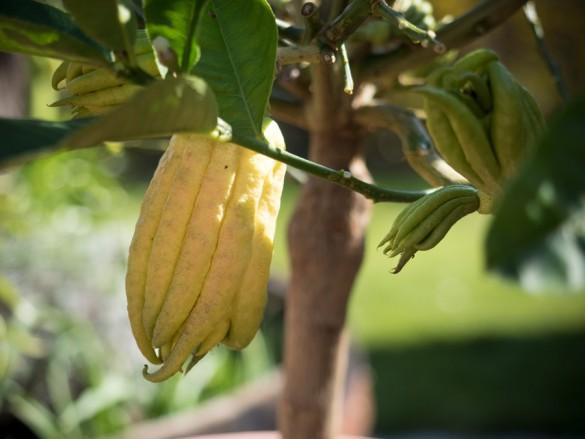 Citruspflanzen-Buddahfinger-überwintert-04-2015-04