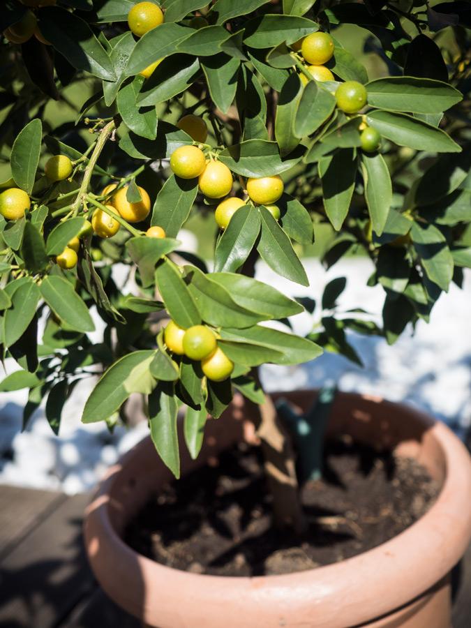 Citruspflanzen-Kumquat-überwintert-04-2015-02
