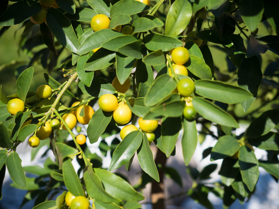 Citruspflanzen-Kumquat-überwintert-04-2015-03