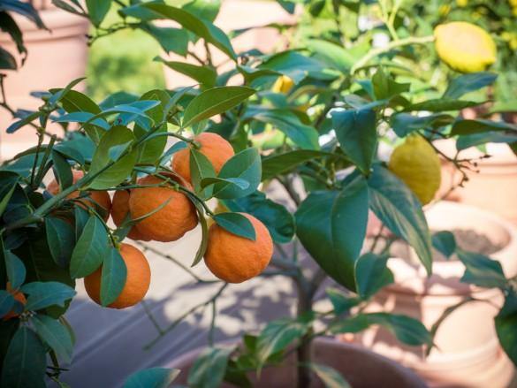 Citruspflanzen-überwintert-04-2015-01