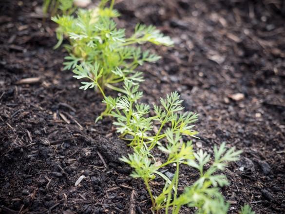 Zwischenbericht: Karotte, Rettich, Petersilie und Co. im Hochbeet