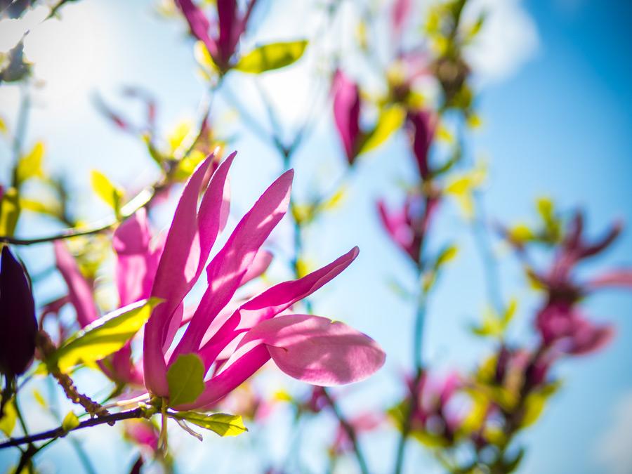purpur magnolie schlagwortseite friedrichs gartenjahr. Black Bedroom Furniture Sets. Home Design Ideas