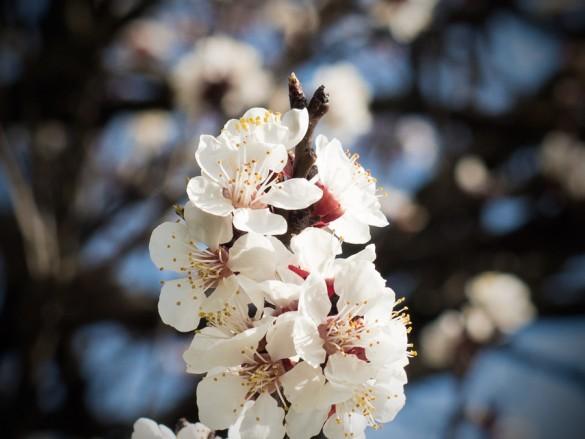 Die Marillenblüte beginnt