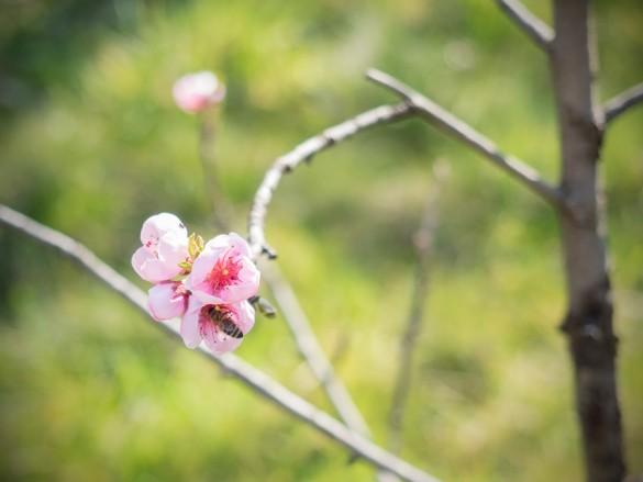 Der Pfirsichbaum und die Nektarine blüht