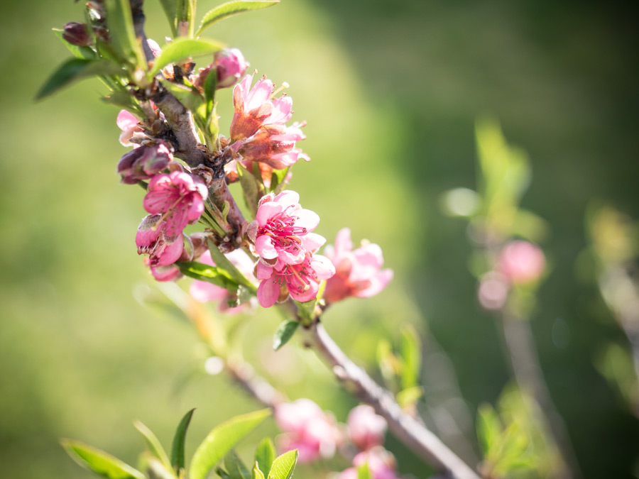 der pfirsichbaum und die nektarine bl ht friedrichs. Black Bedroom Furniture Sets. Home Design Ideas