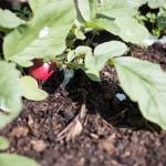 Radieschen: Die erste Ernte im Hochbeet