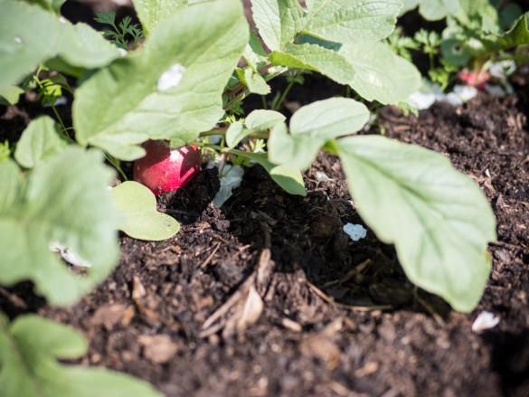 Radieschen-erste-Ernte-Hochbeet-