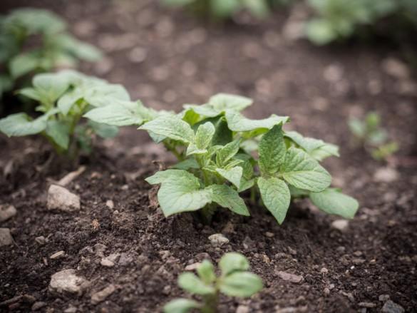 Erdäpfel-Kartoffel-nach-14-Tagen