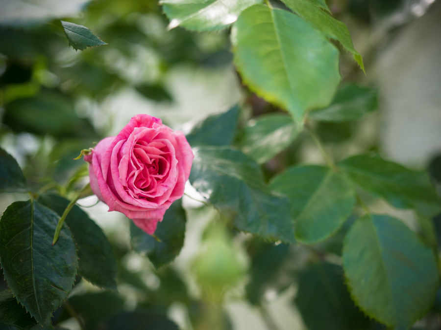 die rosen bl hen friedrichs gartenjahr auss en pflanzen gie en und genie en. Black Bedroom Furniture Sets. Home Design Ideas