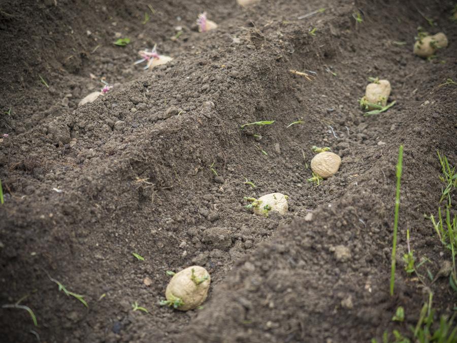 """Die Saatkartoffeln """"Princess"""" werden gesetzt"""