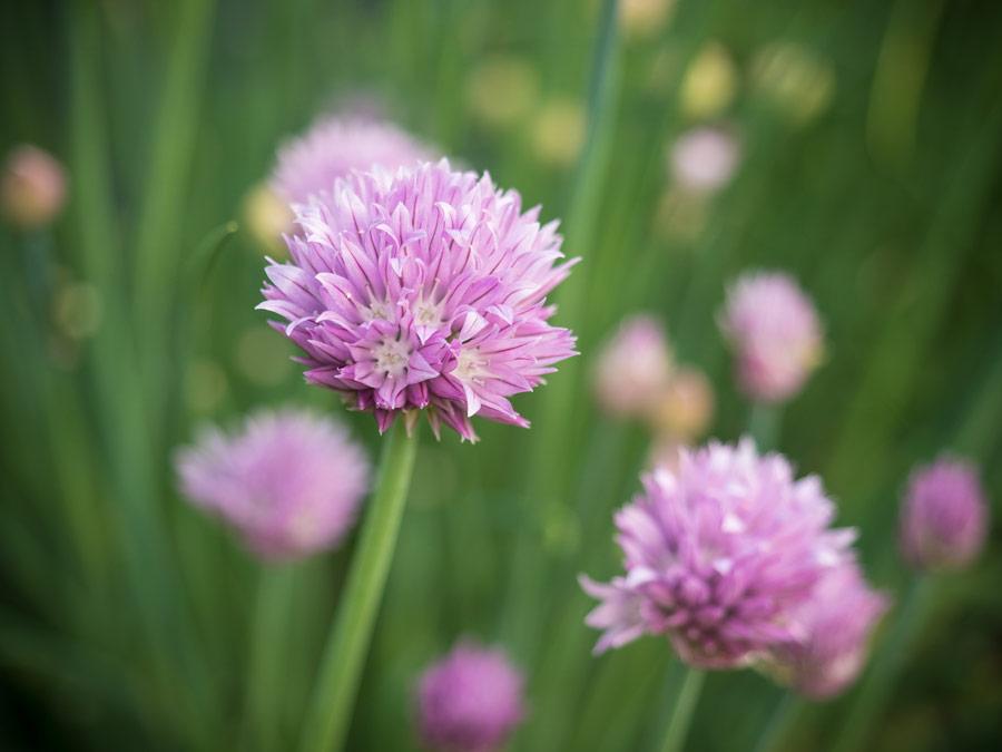 Schnittlauch-Blüte-essen