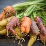 Erste Karotten-Ernte 2015 aus dem Hochbeet