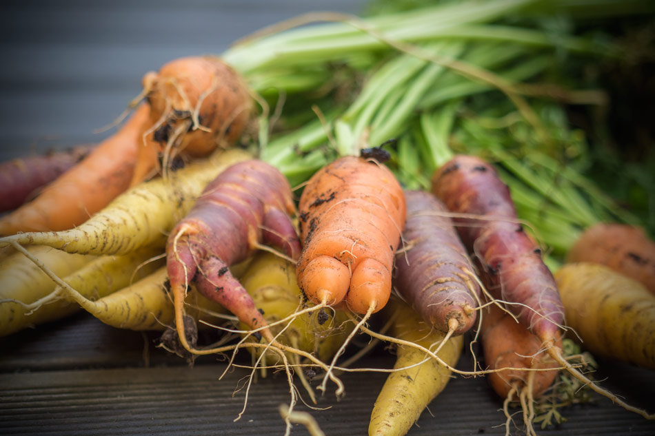 Karotten-Möhren-verschiedene-Sorten-Ernte-2015-Hochbeet