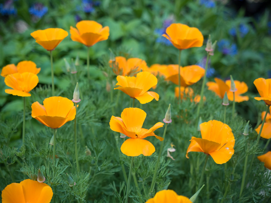 Mohn-gelb-orange