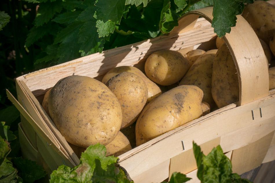 Kartoffelernte!