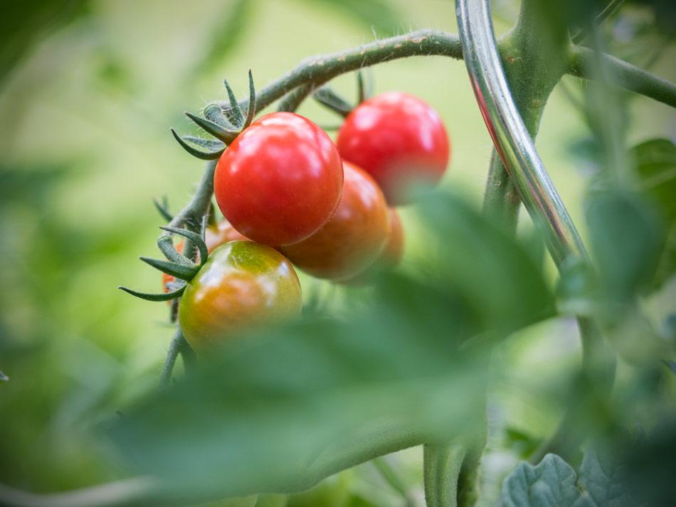 Ab jetzt gibt es täglich eigene Tomaten!