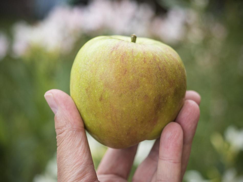 Die ersten Äpfel werden reif